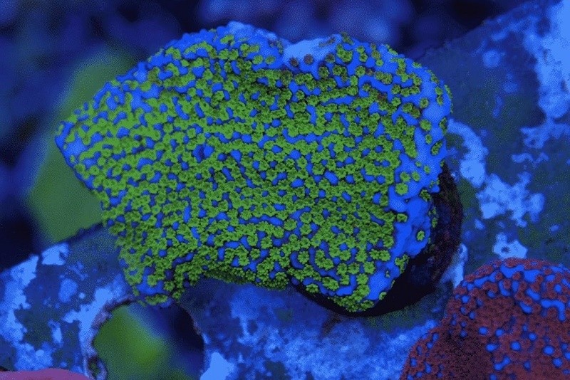 mail order corals